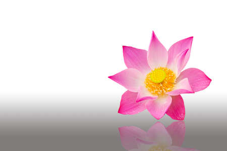 Pink water lily on the white background  Stock Photo