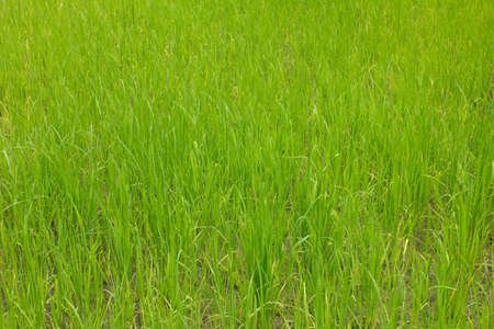 penny pinching: Rice filed background