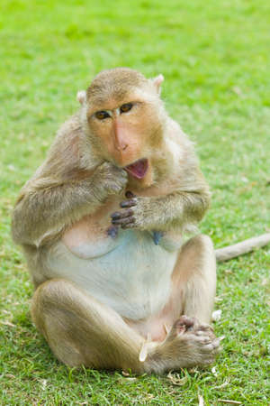 Monkey  Macaque rhesus  in Thailand