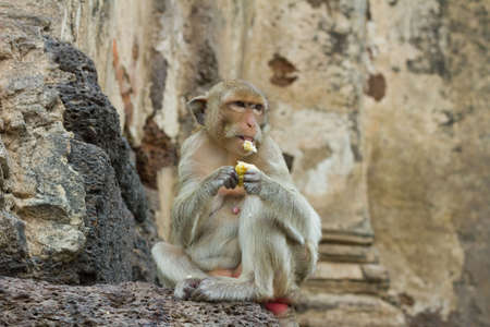 Monkey  Macaque rhesus  in Thailand photo