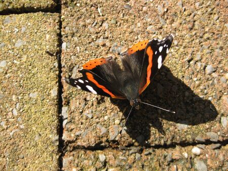 admiral: red admiral atalanta butterfly Stock Photo