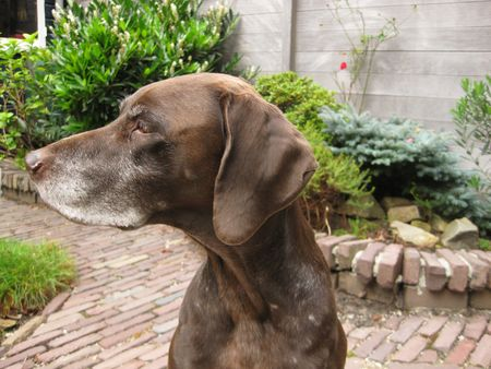 rifrug: Portrait of a german pointer Stock Photo