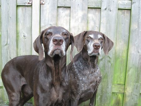 rifrug: (German Shorthaired) Pointer Sisters Stock Photo