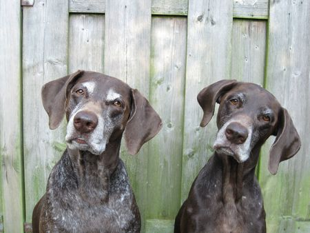 (German Shorthaired) Pointer Sisters Stock Photo - 3624672