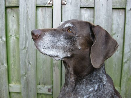 rifrug: German shorthaired pointer
