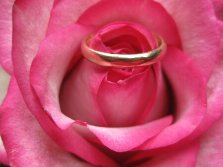 weddingband in a pink rose photo