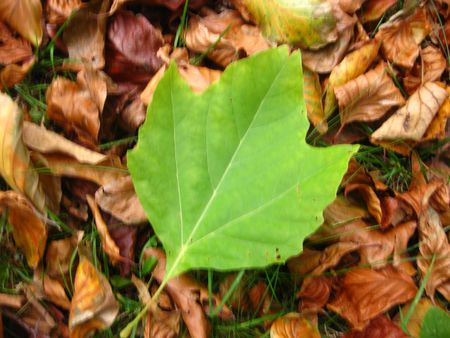 a green leaf in the autumn photo