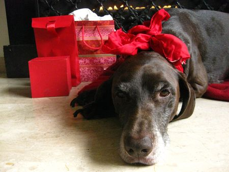 Pointer and christmas gifts photo