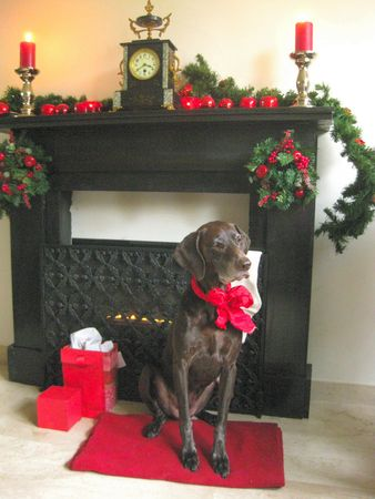 A christmas pointer in front of the fireplace Stock Photo - 3842201