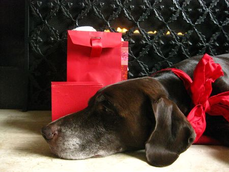 pointer dreaming of the christmas gifts photo