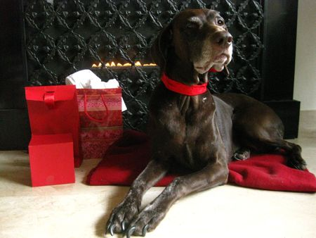 Pointer waiting for Santa Claus photo