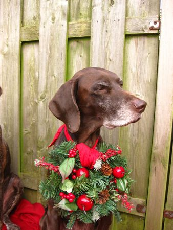 a christmas pointer Stock Photo - 3874254