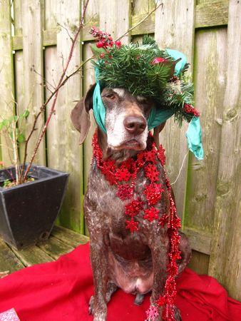 A Christmas dog Stock Photo - 3874278