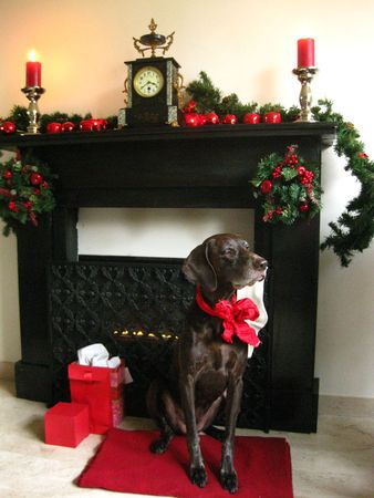 Pointer waiting by the fire for Santa photo
