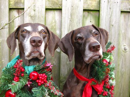 A pointers view to Christmas photo