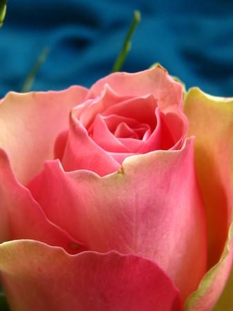 captivating: pink rose on blue background