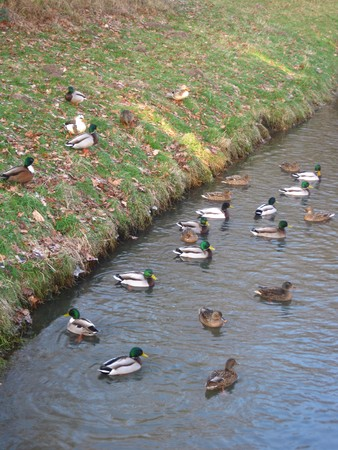 icey: Winter in Holland: ducks in half frozen water Stock Photo