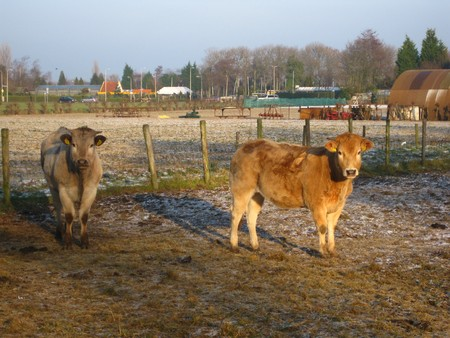 icey: winter in Holland: cows on frozen meadow Stock Photo