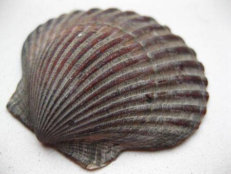 Seashell Stock Photo - 4084124