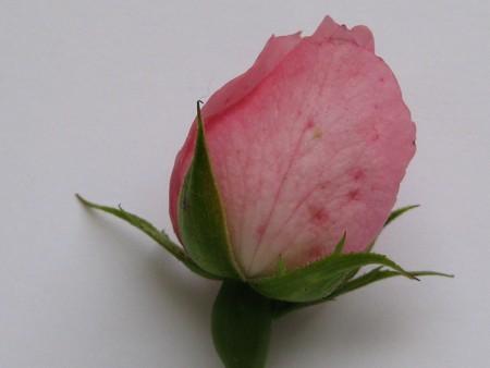captivating: pink rose