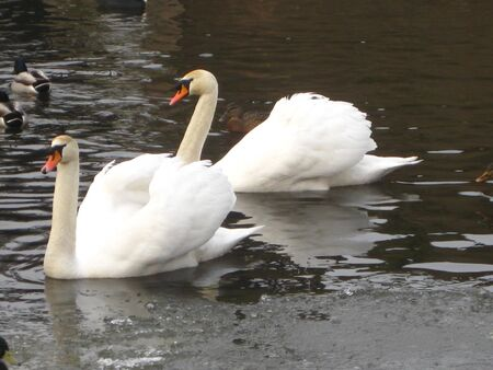 swan couple on icy water Stock Photo - 4112384