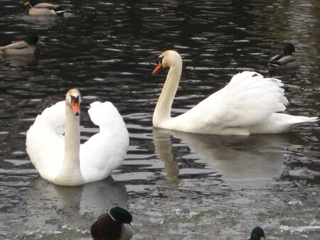 Swan couple in icy water Stock Photo - 4112434