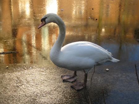 Frozen Swan Lake photo