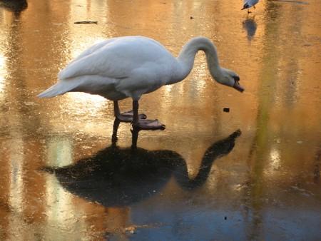 icey: Frozen Swan Lake