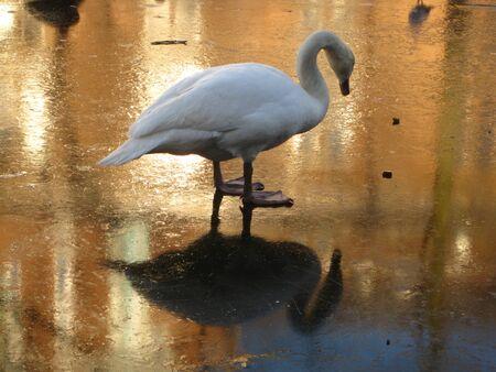 Frozen Swan Lake Stock Photo - 4129426