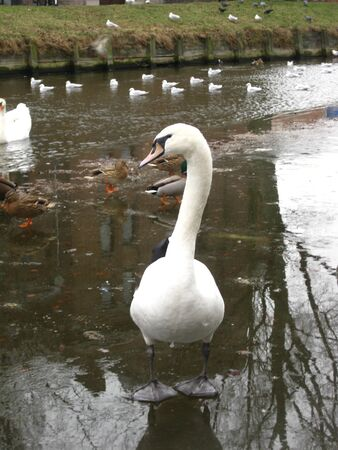 Swan walking on ice photo