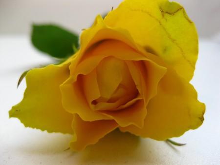 captivating: yellow rose