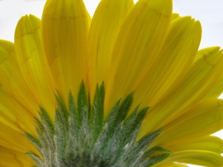 to other side: the other side of a yellow gerbera Stock Photo