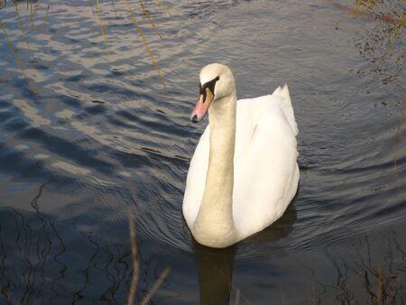 Swan Stock Photo - 4168302