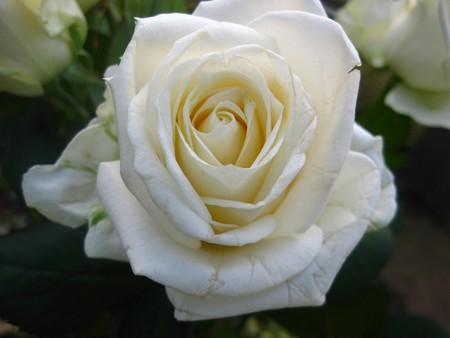 captivating: White rose