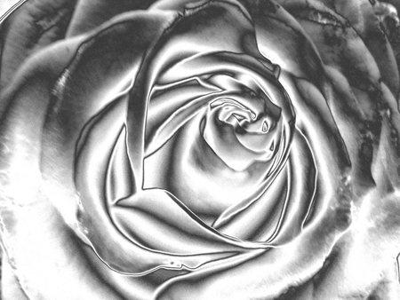 pleasing: rose drawing Illustration