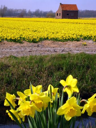 eastertime: daffodils in the field Stock Photo