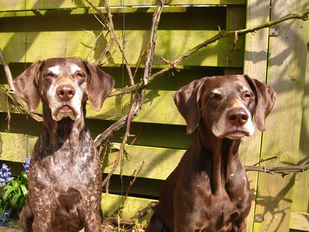 rifrug: German shorthaired pointers