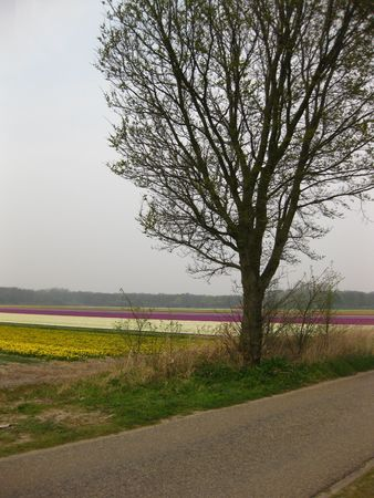 hyacints narcissus: Flower fields in Holland