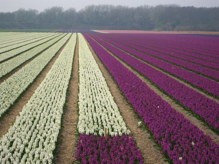 hyacints narcissus: Flower bulb industry in Holland