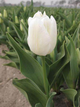 hyacints narcissus: white tulip