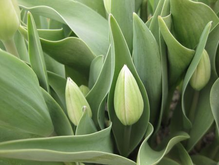 hyacints narcissus: Tulip in close up Stock Photo