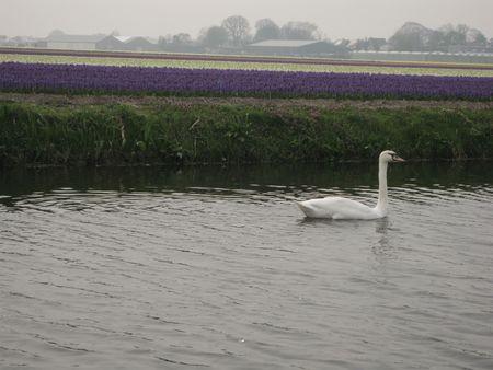 Swan in the water near a flower field photo