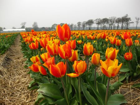 yellow orange tulips in close up, field in background photo