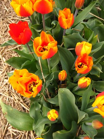 hyacints narcissus: orange yellow tulips Stock Photo