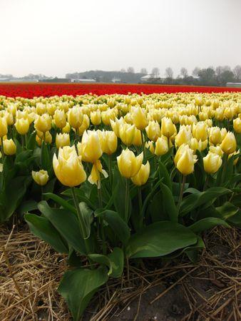 hyacints narcissus: yellow tulips Stock Photo