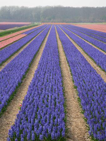 hyacints narcissus: purple blue hyacints Stock Photo