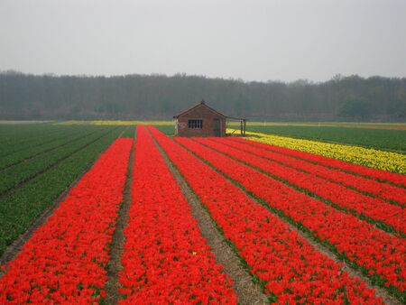 hyacints narcissus: Bulb shed in a tulip field Stock Photo