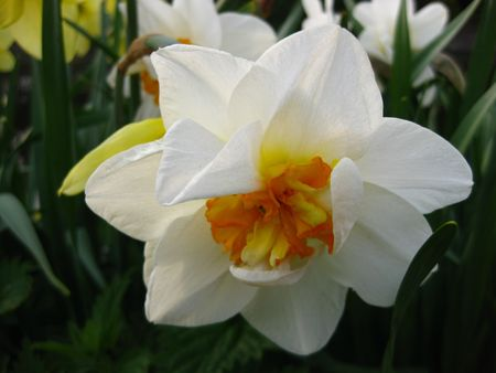 hyacints narcissus: double narcissus in white and yellow