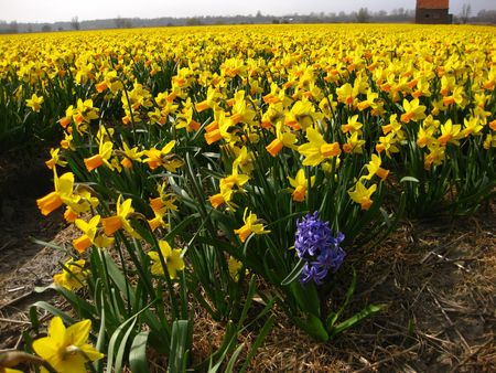 hyacints narcissus: narcissus on the field Stock Photo