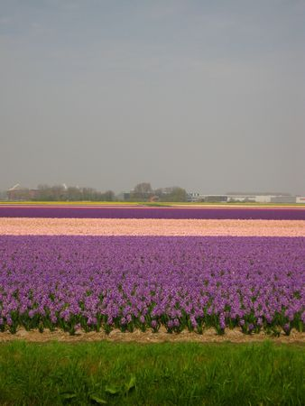 hyacints narcissus: floral industry in the Netherlands Stock Photo